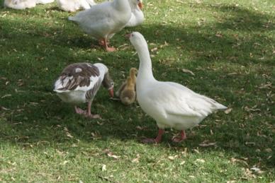Los patos del lago